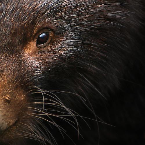 Wombat #1