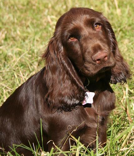 Field Spaniel - Dog Br...