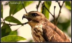 4-Gavilan de la Hispaniola-Buteo Ridgwayi-Ridgway's Hawk. El ave mas criticamente amenazada de la Hispaniola. Los limones, Parque Nacional Los Haitises, Rep. Dom. (Cimarrn Mayor !!!7,000.000 DE VISITAS, GRACIAS!!) Tags: dominicanrepublic republicadominicana parquenacionalloshaitises panta gavilan endemica loslimones canon40d especieamenazada buteoridgwayi gavilandelahispaniola cimarronmayor gavilan3 telefoto100400 ridgwayshaw