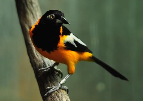 フリー画像| 動物写真| 鳥類| 野鳥| ムクドリモドキ|       フリー素材|