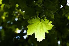 (jiwubw00) Tags: light green leaf platanus bltter wrzburg platanen wrzburg