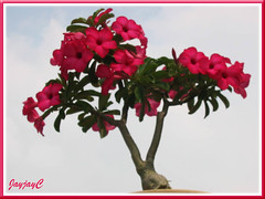 Adenium obesum, a deep rose-pink dwarf cultivar (30cm tall) with dark red throat, in the neighbourhood, August 7 2009