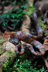 Snail-eating snake (Andrew Snyder Photography) Tags: macro latinamerica nature america nikon rainforest reptile snake wildlife snail conservation honduras andrew research jungle latin tropical serpent cloudforest biology snyder animalia herp centralamerica biodiversity herpetology 105mm reptilia sibon chordata serpentes nikon105mm squamata operationwallacea opwall merendon dipsadidae montanecloudforest taxonomy:class=reptilia taxonomy:kingdom=animalia taxonomy:phylum=chordata taxonomy:order=squamata taxonomy:suborder=serpentes andrewsnyder snaileater taxonomy:species=dimidiatus cusuconationalpark taxonomy:genus=sibon sibondimidiatus asnyder5 andrewmsnyder taxonomy:family=dipsadidae taxonomy:binomial=sibondimidiatus slendersnailsucker taxonomy:common=slendersnailsucker