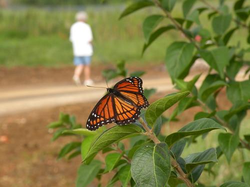 DSCN7750 B Boudrey viceroy butterfly