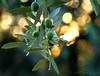 Mediterranean Gold (Kuzeytac) Tags: lsi leyla kuzeytac canoneos400d canoneosdigitalrebelxti zeytin ege aegean olive green gold altın yeşil mediterranean turkey türkiye canakkale assos color colour renk nature doğa bokeh turkiye tabiat copyrightedallrightsreserved geotagged geotag ışık yellow yaprak vivid tree sunset sunray sun sparkle siyah renkler pırıltı parıltı makro light güneş günbatımı golden glitter doku dof digital detay dazzling dazzler dazzle dal bright black behramkale backlit backlight ayvacık explore canon70300isusm naturesfinest impressedbeauty supershot bestcapturesaoi naturethroughthelens abigfave fbdg infinestyle the4elements 100commentgroup aqualityonlyclub