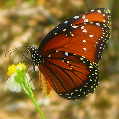 Queen Butterfly (scilit) Tags: brown flower macro nature beautiful animal fauna butterfly bug insect perception florida wildlife flor wildflower legacy danae tistheseason photoqueen 500x500 coth cherryontop queenbutterfly mywinners abigfave photogarden worldbest colorphotoaward specinsect focuslegacy platinumheartaward energiapositiva goldstaraward butterflieselegance worldnaturewildlifecloseup beautifulmonsters firstofall freedomhawkgalleryofexcellence naturesbeautifulphotography bestofmywinners magicuniverse flickrvault animalstogetherartgallery richardsfloraandfauna 2mmsroyalstation richardsilverstar magicuniversemasterpieces qualitygoldseal mothernaturesgreenearth