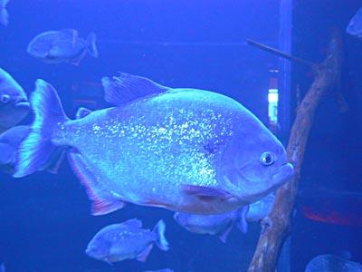 Poisson dans l'aquarium .jpg