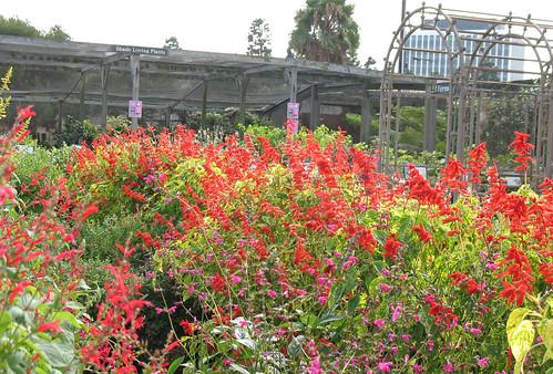 red flowering salvia perennial