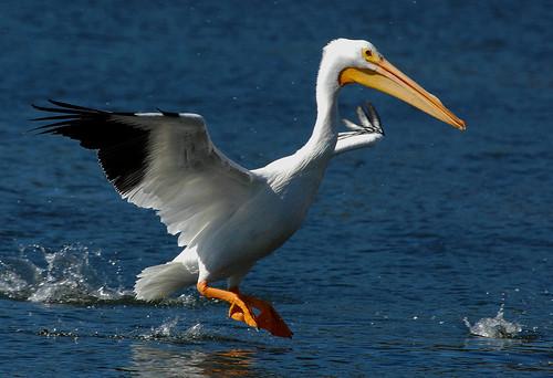 joe pelican1