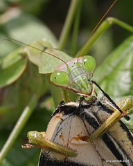 Praying Mantis eats a swallowtail butterfly (tonyadcockphotos) Tags: macro nature closeup butterfly mantis insect butterflies predator prayingmantis sciencecenter butterflyhouse butterflygarden danvilleva canonef50mmf25compactmacro chinesemantis danvillesciencecenter butterflystation