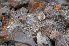 Pika (Ochotona princeps), Mount Washburn, Yellowstone NP, WY, USA. (f/4) Tags: usa yellowstone pika wy mountwashburn ochotonaprinceps