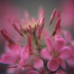 (Cleome) (satoshi  denuclearization) Tags: flower artistic topgun oa coth topshots imagepoetry mywinners visiongroup flickraward diamondclassphotographer flickrdiamond flowersarebeautiful theunforgettablepictures theunforgettablepicture newacademy platinumheartaward fleursetnature macroflowerlovers excellentsflowers natureselegantshots macrosdenaturaleza specialpictures awesomeblossoms vanagram theperfectpinkdiamond passionateinspirations dragondaggerphoto saariysqualitypictures artistictreasurechest heavenlycaptures miasbest superstarthebest secretenchantedgardens weirenasfaves redmatrix flickrunitedaward  sublimeflowershot thelargestgroupintheworld ofpetalsandflowersgroup