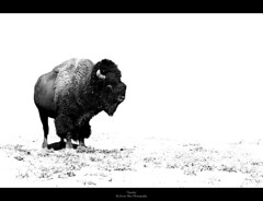 Tatanka (Kevin Aker Photography) Tags: blackandwhite bw favorite monochrome southdakota blackhills photography photo moving interestingness amazing interesting buffalo image photos wildlife favorites monotone images explore strong bison frontpage thebest custerstatepark flickrfavorites mostviews favoritephotos tatanka bestphotos favoritephotography coolimages photographyfavorites flickrsbest coolimage awesomecapture amazingphotos thebestonflickr amazingphotography coolphotography awesomeimages awesomeimage bestofblackwhite profesionalphotography strongphotography kevinaker kevinakerphotography everyonesfavorites coolcaptures showmethebestphotos exploremyphotography simplyawesomephotography bestphotographyonflickr photoswiththemostviews strongphoto