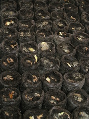 IMG_4228 (gfixler) Tags: trees tree seed seeds passiflora jacaranda seedpods passionflower planting jiffy cassia bauhinia orchidtree