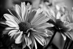 Naif (victor mendivil) Tags: flower peru nikon dof lima bokeh flor nikkor magdalena vegetal petalos cruzadas d80 18135mmf3556g ltytr1 platinumheartaward floresbn victormendivil