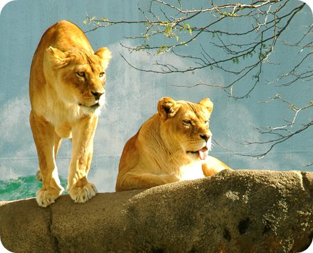 Lions at the Rosamond Gifford Zoo