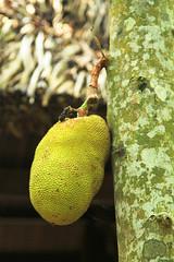 IMG_2919 jack fruit1p (Luciana Adriyanto) Tags: travel vietnam jackfruit cuchitunnel v1olet lucianaadriyanto