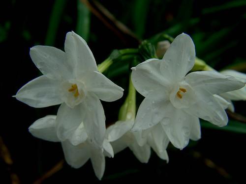 Narcissus 001
