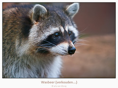 Raccoon with a cold... (Arie van Tilborg) Tags: winter cold blijdorp raccoon koud wasbeer abigfave arievantilborg vosplusbellesphotos verhouden