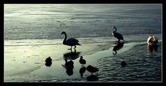 swans an ducks on frozen sea (▲sTARDUST▲) Tags: sea canon germany lens deutschland eos see frozen duck swan kit 1855 retouch ente schwan strausberg straussee 450d eingefrorener