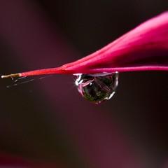 backyard photoshooting (renatotarga) Tags: pink flower macro square flor drop lilac gota corderosa lilás quadrada renatotargablog