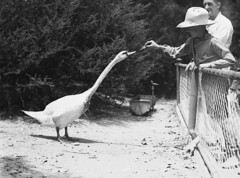 Far West boy feeds a swan, Taronga Park Zoo, Sydney, 2nd January, 1935 / by Ted Hood (State Library of New South Wales collection) Tags: boy portrait cats cute male bird hat animal fence person zoo kid swan child feeding sydney fences australia swans pettingzoo strawhat zoos enclosure 1935 mosman feedinganimals tarongaparkzoo animalfeeding statelibraryofnewsouthwales tedhood royalfarwestchildrenshealthscheme