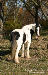 Goofy Girl (Cosmopolitan Horse Farm) Tags: horse irish cosmopolitan funny paint feather indiana colt trot badhair stallion canter badhairday mane draft tinker drafthorse vanner drumhorse funnyhorse broodmare gypsyvanner gypsyhorse gypsycob gypsystallion mareinfoal gysycob gypsyfoal