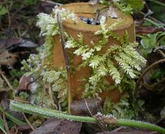 Versierde bloempot. (Fijgje On/Off) Tags: mos garden moss nederland thenetherlands tuin limburg bloempot