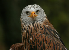 Red Kite - Rotmilan (pe_ha45) Tags: raptor redkite specanimal rotmilan mywinners abigfave aplusphoto natureoutpost mwqio
