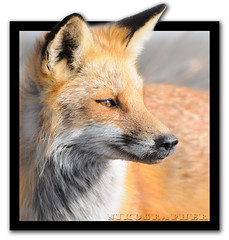 Red Fox (Nikographer [Jon]) Tags: de lenstagged nikon jan wildlife january national bombay delaware hook nikkor 2009 refuge redfox oob nwr d300 200400mm bombayhooknationalwildliferefuge nikond300 ed200400mmf4gifvr 20090124d30050983