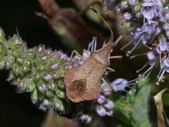 Syromastes rhombeus f (terraincognita96) Tags: germany nordrheinwestfalen coreidae northrhinewestphalia hemiptera heteroptera rhombeus syromastes