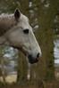 Horse in picture (ROSTOL) Tags: horse drenthe paterswolde paard vosbergen schimmel 22feb paardenhoofd
