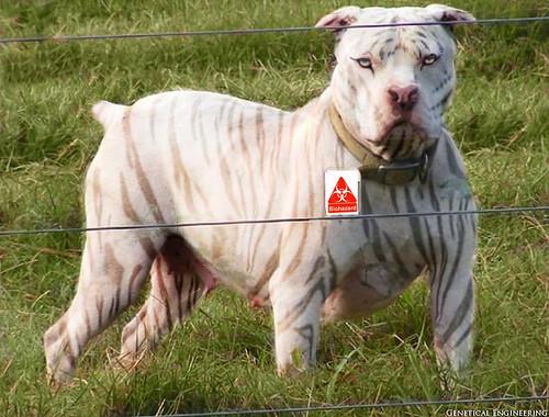 pit bull tattoo designs