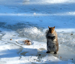 Sans patins (anjoudiscus) Tags: cute ice nature animal squirrel ange explore 2009 qc glace fourrure mignon mammifre fvrier cureuil frimousse otw rongeur vr18200 d80 mywinners riviremilleiles sanspatins