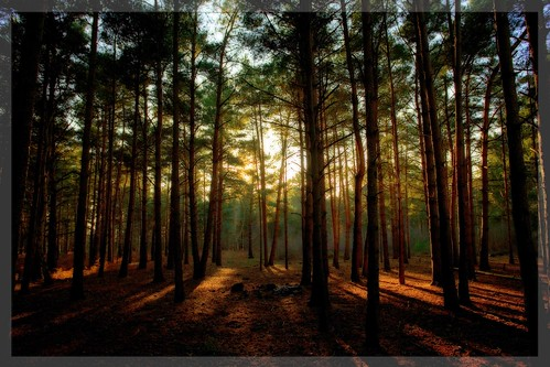 English Pine Forest