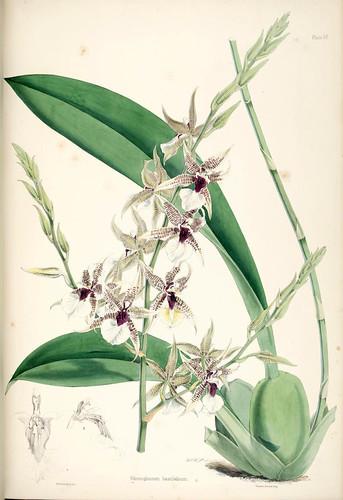 019-Odontoglossum hastilabium