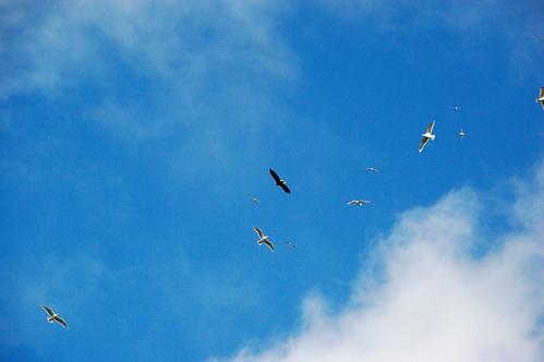 Incoming eagle
