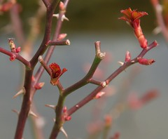 Rose Leaf Buds