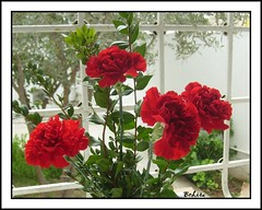 carnations (bchira1) Tags: red flower mmm carnation bej
