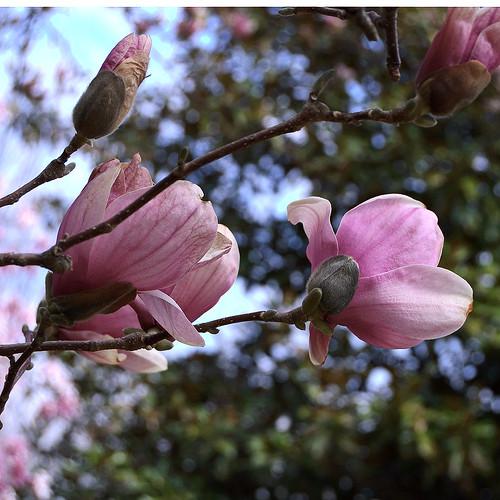 Missouri Botanical Garden (Shaw's Garden), in Saint Louis, Missouri, USA - Magnolia x soulangeana Magnoliaceae