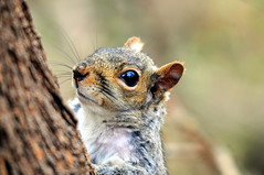 Gray Squirrel Giving me the Eye (Brian E Kushner) Tags: reflection eye animals newjersey backyard nikon squirrel wildlife brian nj audubon graysquirrel kushner d90 nikond90 audubonnj sigma150500mmf563dgoshsm bkushner brianekushner briankushnerphotographycom