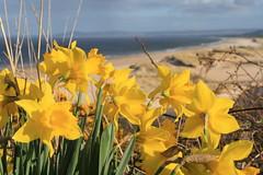 096 (Craigfaelossie) Tags: flowers sea green beach yellow scotland spring dof bokeh east dafodills moray firth lossiemouth morayshire lossie