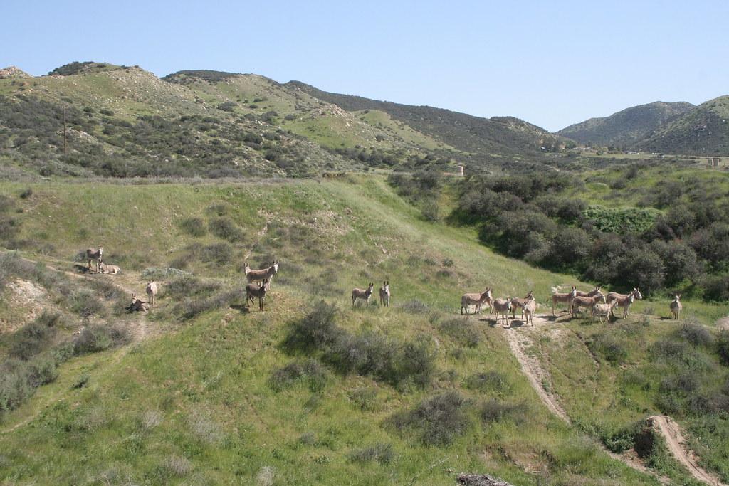 wild donkey herd!