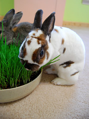 Mowing (craftybeaver) Tags: pet cute rabbit bunny grass animal eating wheat mini snack elliot rex mowing wheatgrass