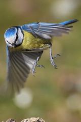 Dropping in for Lunch (Missy2004) Tags: bird tit newforest bluetit nikond60 eyeworth pfogold beautifulworldchallenges nikkor70300mmf4556afsifedvr