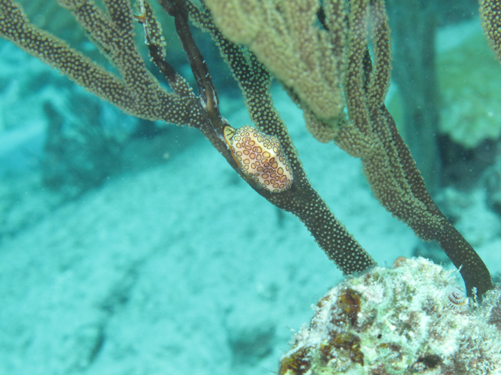 flamingo tongue cyphoma