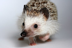 OH HAI (casoninabox) Tags: favorite brown white black cute nature animal animals photoshop canon studio eos rebel perfect photographer little wildlife flash explore precious hedge spike hedgehog fav hog spikes soe quill the quills xti bej abigfave impressedbeauty goldstaraward