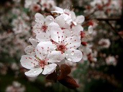 Plum Blossoms (itsjustrachel) Tags: nature blossoms plumblossoms