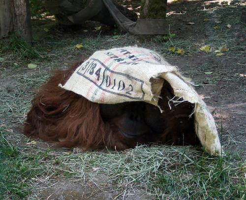 zoo orangutang