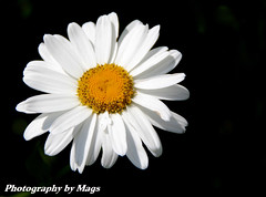 Aster Michaelmas Daisy - Variety Snowsprite (Dysartian) Tags: michaelmasdaisy dysartian vosplusbellesphotos photographybymags